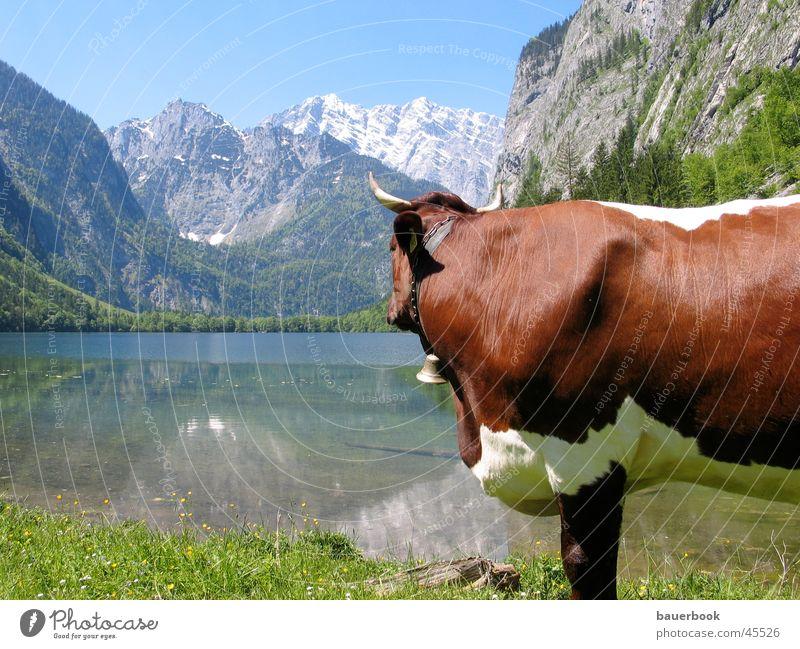 Sehnsucht Alm Kuh Sommer See rein ruhig Zufriedenheit Einsamkeit harmonisch Königssee Watzmann Berchtesgaden Berge u. Gebirge Alpen Landschaft Sonne Wasser