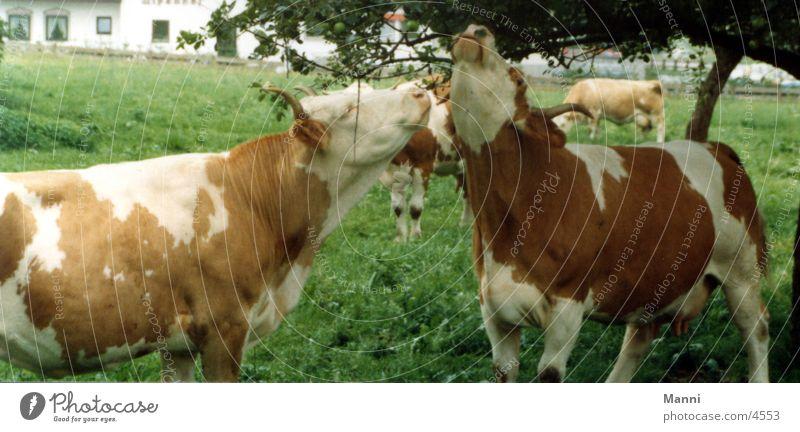 Kühe Baum Wiese Verkehr Kuh