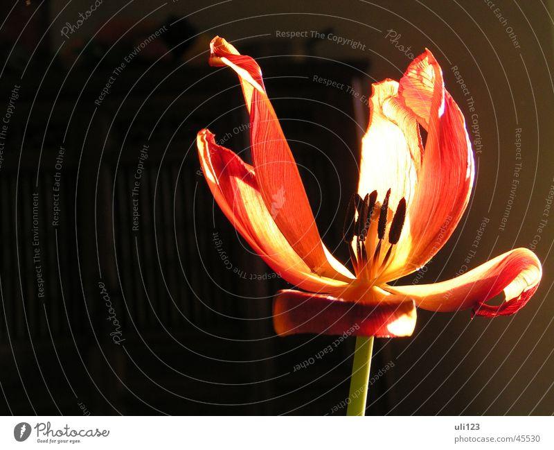 Verwelkte Schönheit Blume Blüte Licht dunkel Tulpe Sonne Pflanze Makroaufnahme