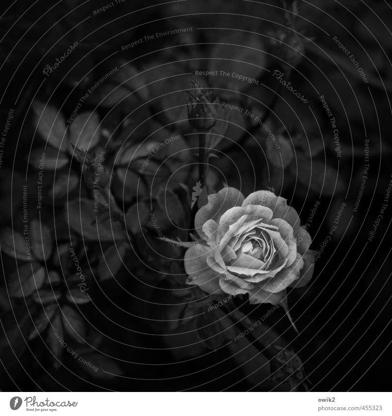 Requiem Umwelt Natur Pflanze Blume Blatt Blüte Rose Blühend verblüht dunkel natürlich unten geduldig ruhig demütig Traurigkeit Sorge Trauer Tod Liebeskummer