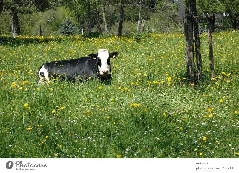 Kuh im Gras Wiese Schweiz Bulle Rind Verkehr Natur Landschaft Muni