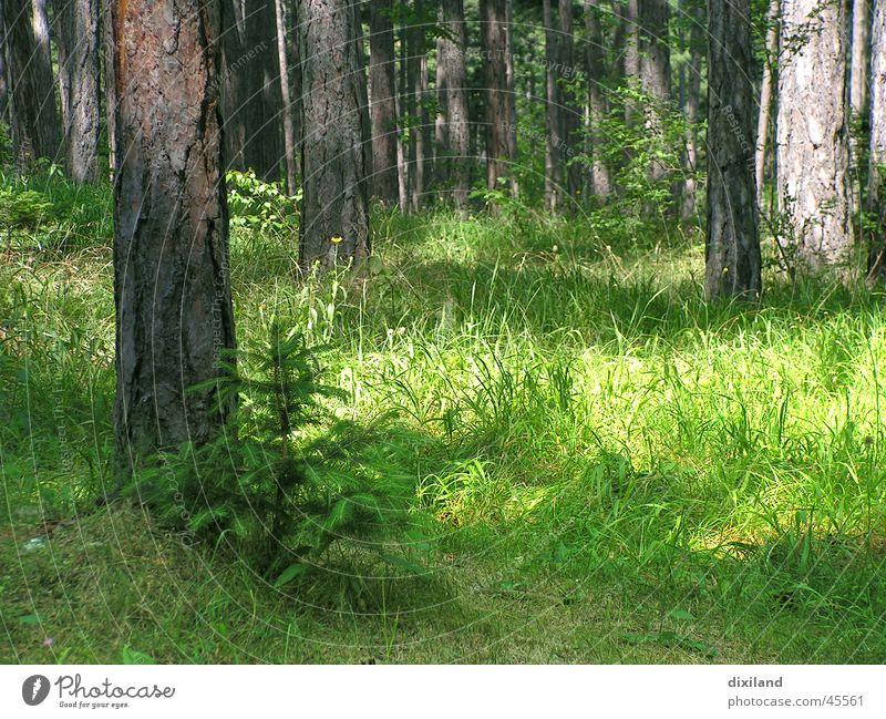 Weihnachten wächst Wald Morgen Baumschössling Waldlichtung Waldstimmung Berge u. Gebirge Morgendämmerung