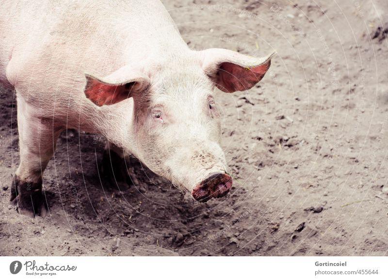 Cochon Tier Glück niedlich Tiergesicht Biologische Landwirtschaft Nutztier Schwein Glücksbringer Sau Glücksschwein Freilandhaltung Schweinschnauze Schweineohr