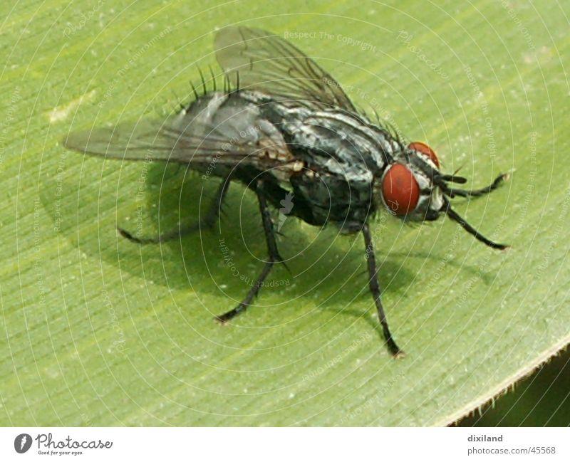 Landebahn Maisblatt Insekt Fliege Makroaufnahme freie Natur
