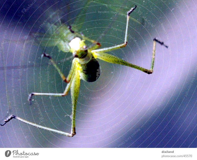 Grashüpfer fährt Auto grün Heuschrecke Insekt Momentaufnahme junger Grashüfer 6 Beine Makroaufnahme