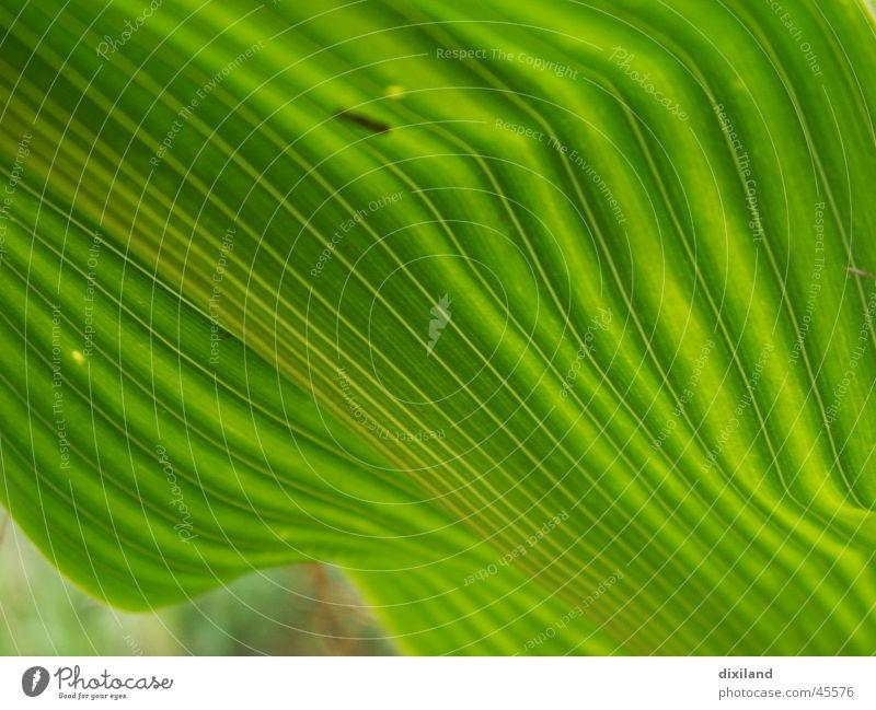 ein Knick in der Optik Blatt Feld Landwirtschaft Sommer Furche Schatten grün diagonal Mais Pflanze Makroaufnahme