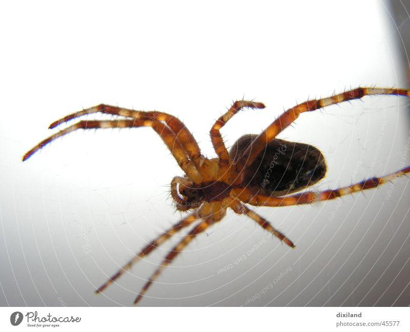 Miss Tekla im Scheinwerferlicht Spinne Licht wildes Haustier Jagd Detailaufnahme Makroaufnahme