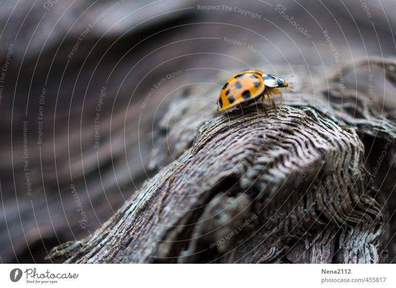 Ins Leben gibt es Höhe... Umwelt Natur Tier Schönes Wetter Baum Garten Park Wald Käfer 1 kämpfen laufen Blick klein orange rot Marienkäfer Glücksbringer Holz