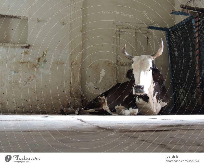 ...die heilige Kuh... Indien Ahmedabad Wohnzimmer Haustier Fell 1 Tier beobachten liegen warten Gedeckte Farben Innenaufnahme Morgen Totale Tierporträt