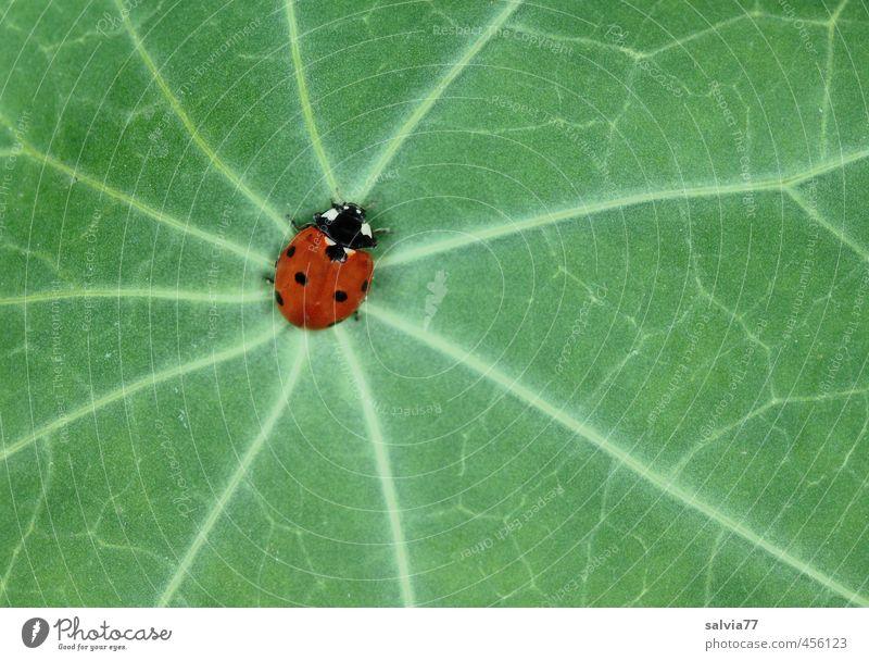 Mittelpunkt Natur Pflanze Frühling Sommer Blatt Grünpflanze Wildpflanze Tier Wildtier Käfer 1 krabbeln grün rot Wege & Pfade Marienkäfer Blattadern Kontrast