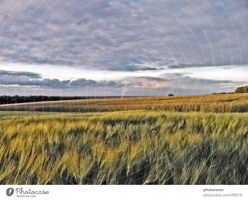 Herbststimmung Natur Himmel Wolken Feld Korn Getreide Weizen