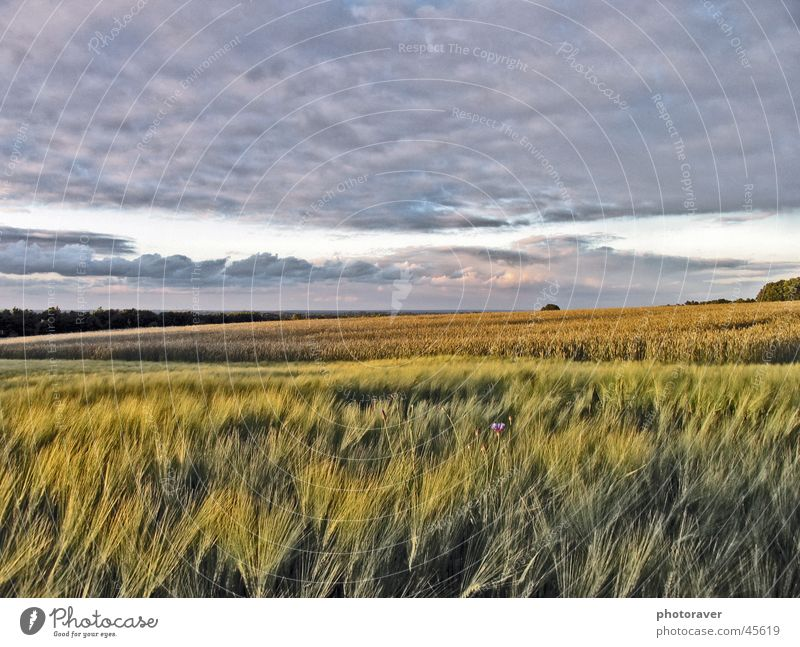 Herbststimmung Natur Himmel Wolken Herbst Feld Korn Getreide Weizen
