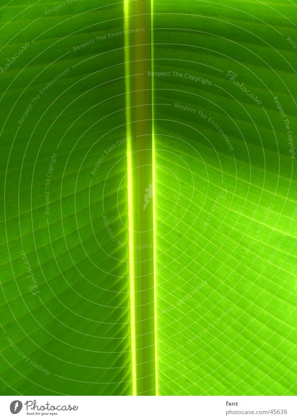 alles Banane Natur grün Blatt Streifen Symmetrie Gefäße vertikal Banane Blattgrün