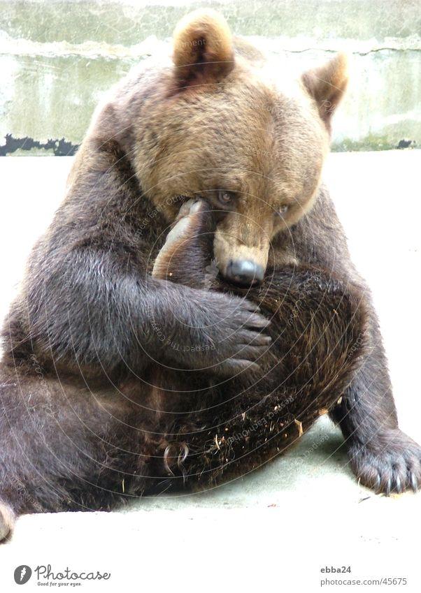 Putzbär Reinigen Sauberkeit Zoo sportlich Bär