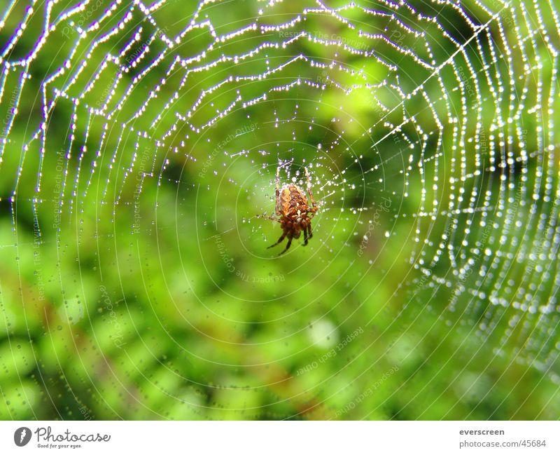 Morgentau im Spinnennetz grün Herbst Frühling Beine braun Rücken fliegen nass Fliege Wassertropfen Finger Netz beobachten Appetit & Hunger Tau Käfer