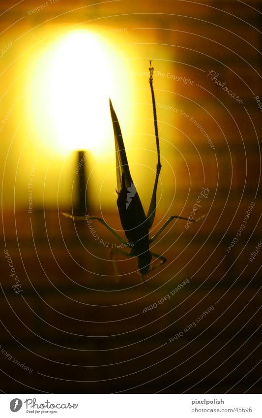 Grashüpfer im Gegenlicht Tier dunkel Insekt Heuschrecke Glasscheibe
