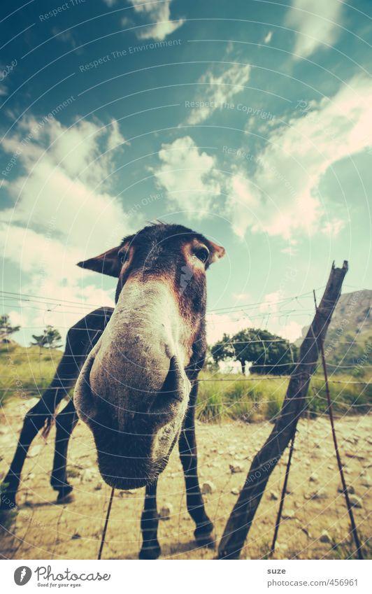 Heul doch | Esel! Natur Landschaft Tier Himmel Wolken Sommer Schönes Wetter Wiese Haustier Nutztier 1 außergewöhnlich frech Fröhlichkeit lustig Neugier niedlich