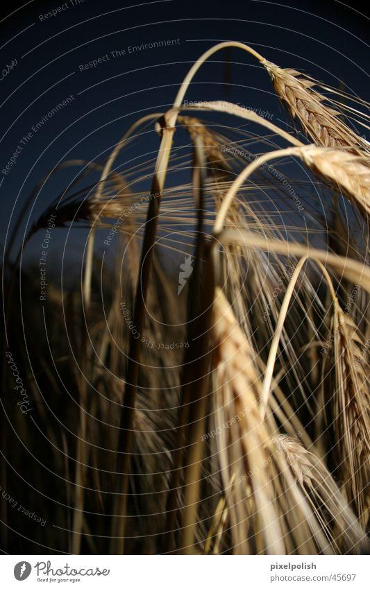 Geister-Korn Feld Getreide Geister u. Gespenster Ambiente