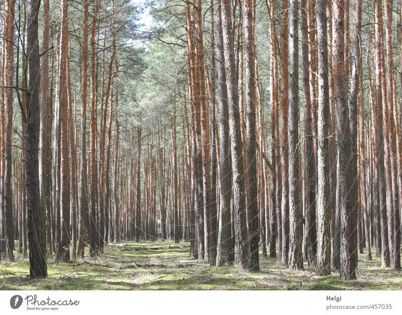 ich seh den Wald vor lauter Bäumen nicht... Umwelt Natur Landschaft Pflanze Sommer Schönes Wetter Baum Gras Kiefer Fichte Baumstamm stehen Wachstum authentisch