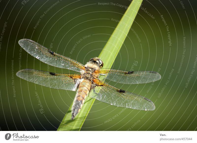 Libellchen Natur Pflanze Tier Gras Halm Garten Wildtier Flügel Libelle Insekt 1 grün Farbfoto mehrfarbig Außenaufnahme Nahaufnahme Menschenleer
