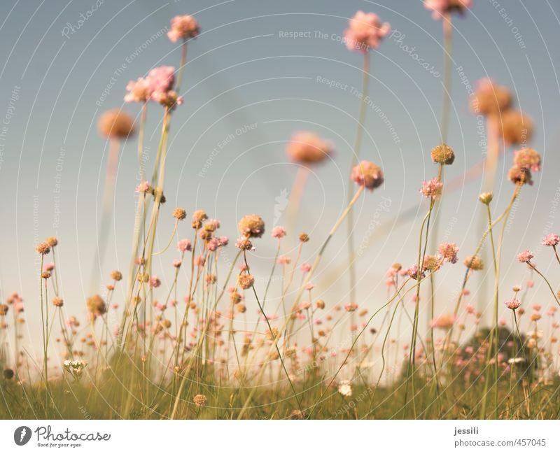 babloom II Natur Pflanze Himmel Blume Blüte Wiese hell schön trocken Wärme blau grün rosa Freude Glück Begeisterung Optimismus Sympathie Freundschaft