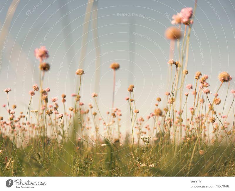 babloom Natur Landschaft Pflanze Wolkenloser Himmel Sommer Schönes Wetter Blume Wiese frei Fröhlichkeit frisch hell schön blau grün rosa Freude Zufriedenheit