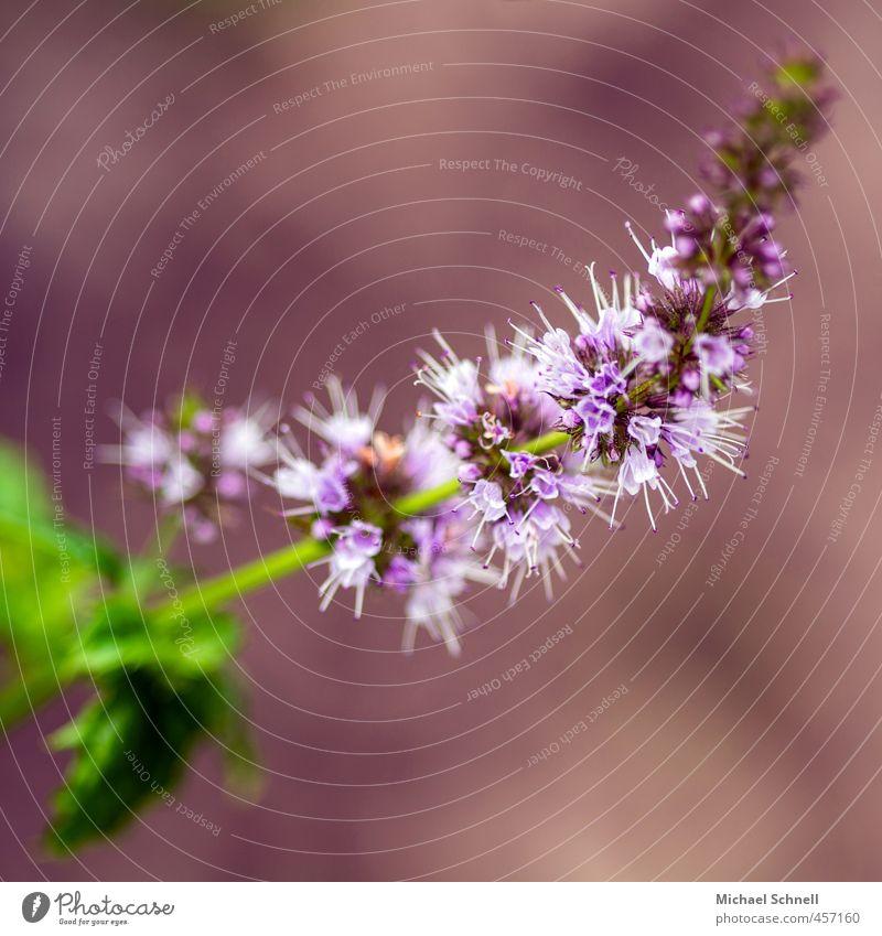 Minze Natur schön Pflanze Sommer Blüte rosa zart Nutzpflanze aromatisch Minze