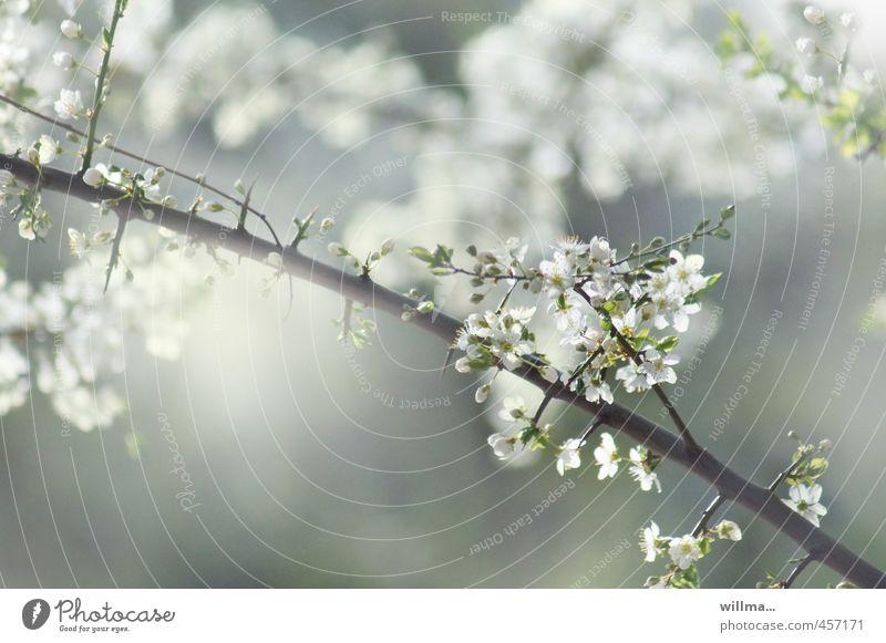 kleines frühlingsgedicht Frühling Zweig Blüte Obstbaum Kirschblüten Pflaumenblüte Apfelblüte Blühend grau grün weiß Blütenzweig Außenaufnahme Menschenleer