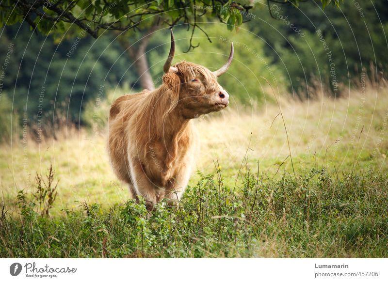 Dorfschönheit Landwirtschaft Forstwirtschaft Wiese Tier Nutztier Kuh 1 stehen ästhetisch blond frei Gesundheit nachhaltig natürlich wild einzigartig Viehhaltung