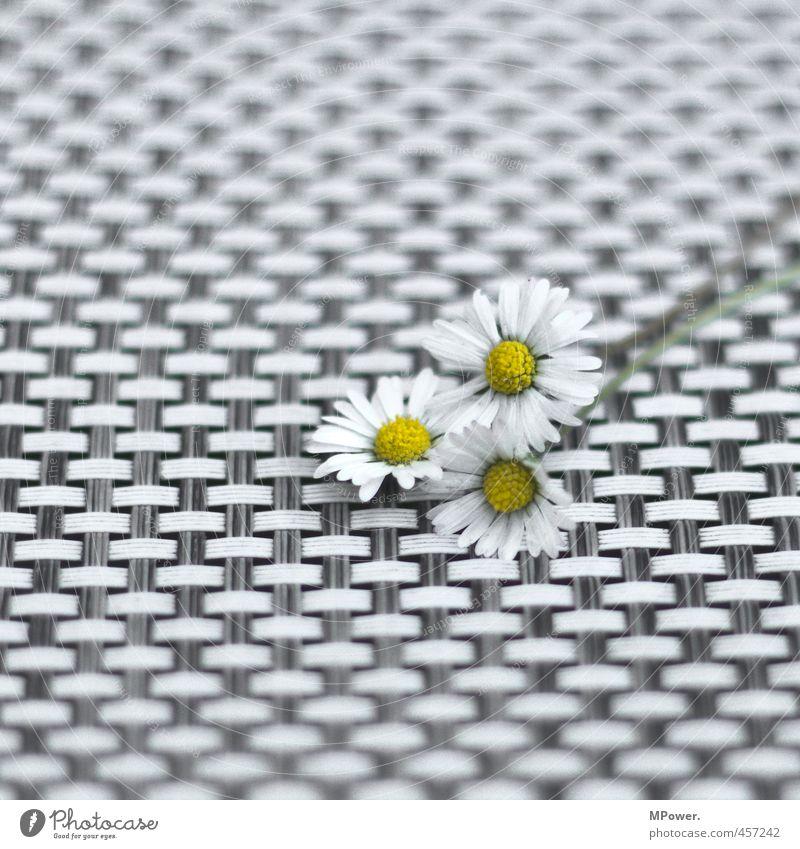 dreitausendschön Pflanze Blume nah gelb weiß Gänseblümchen Muster 3 Blatt Frühling Frühlingsblume Liebe Geschenk Wabenmuster gepflügt gepflückt Blumenstrauß