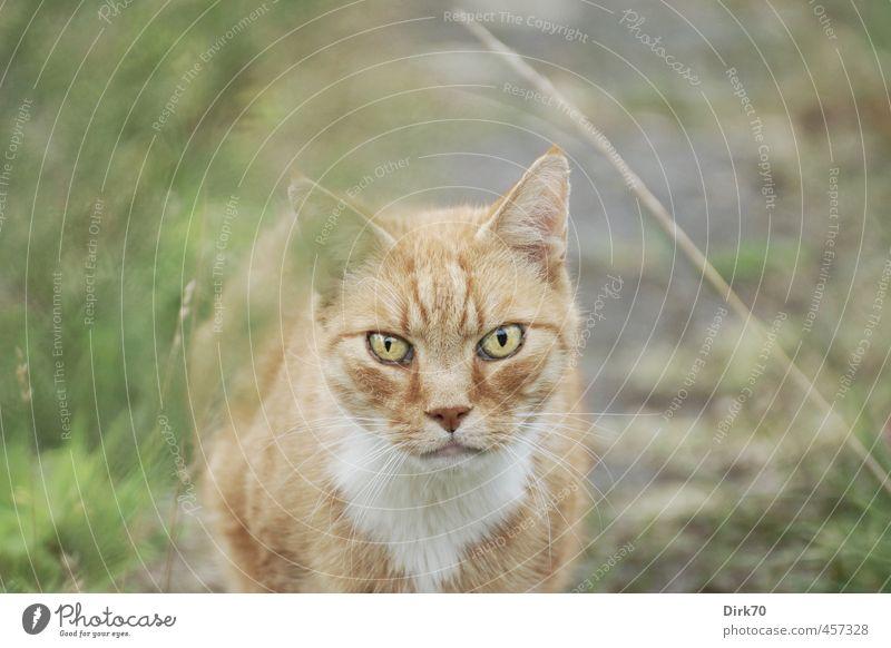 Blickkontakt - wer blinzelt, verliert. Katze grün rot Tier gelb kalt Wiese Gras Wege & Pfade grau Garten braun Park Kraft bedrohlich beobachten