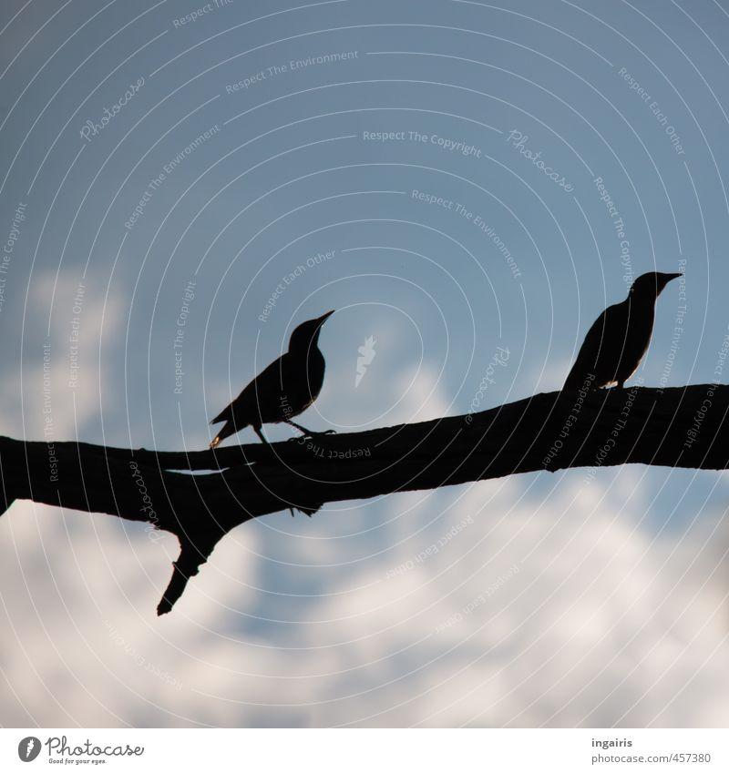 Bleib bei mir Natur Himmel Wolken Ast Zweig Tier Wildtier Vogel Star 2 Brunft beobachten hocken hören warten dunkel hoch blau schwarz weiß Stimmung Sicherheit