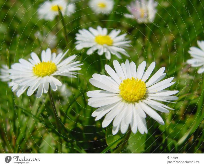 6 Gänse Gänseblümchen Blume Gras gelb weiß grün Sommer Rasen Garten