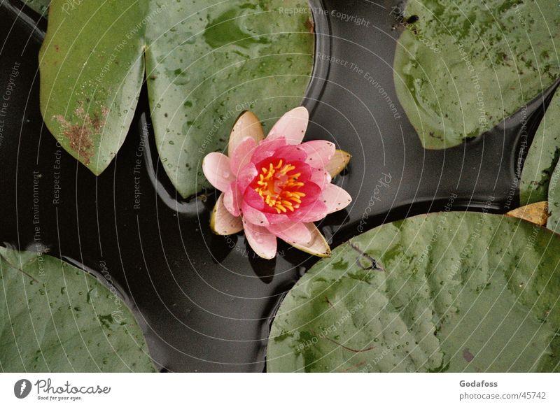 Seerose Natur Wasser Blume rosa Wasserpflanze Seerosen
