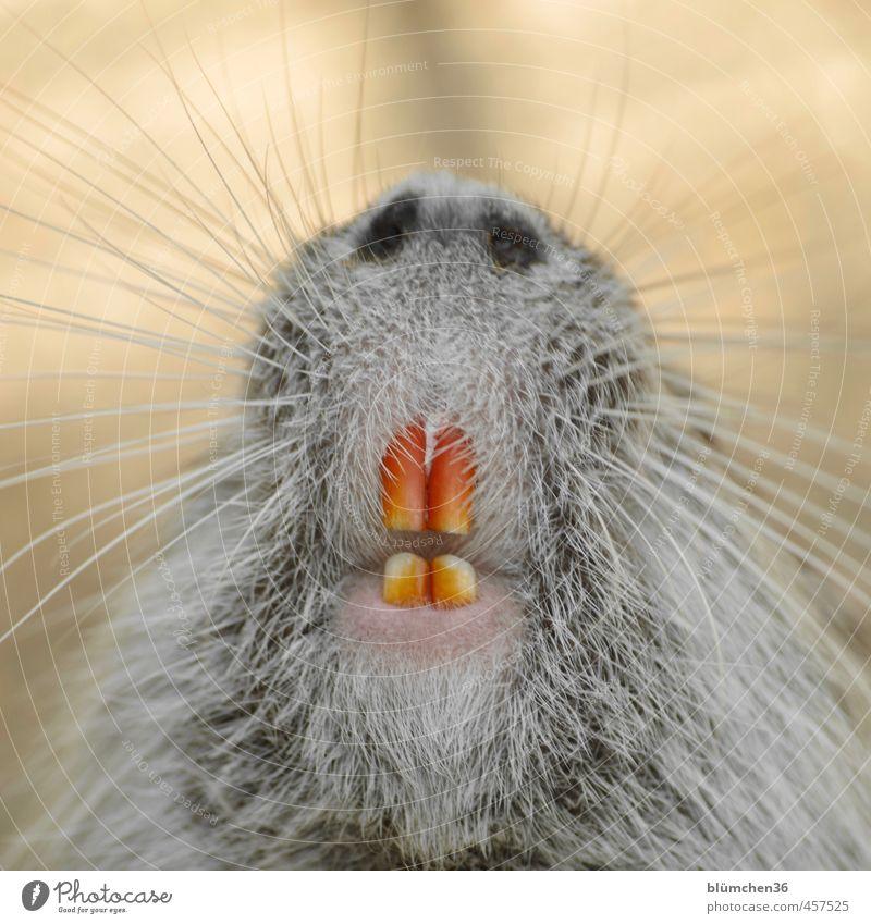 schwarzweissgrau | schlechter Zahnarzt weiß Tier lustig außergewöhnlich Kopf Wildtier niedlich beobachten Nase weich Freundlichkeit Neugier Körperpflege