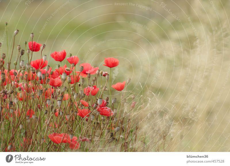 Spätsommer Natur schön grün Pflanze rot Blume Umwelt Herbst Bewegung Gras Blüte natürlich Feld leuchten Blühend Romantik