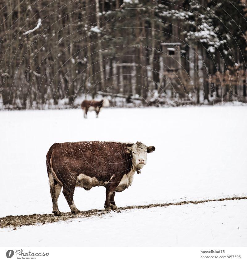 Kuh.l Glück Sinnesorgane Erholung ruhig Meditation Duft Ferien & Urlaub & Reisen Expedition Winter Schnee Skier Senior Umwelt Natur Landschaft Klimawandel Tier