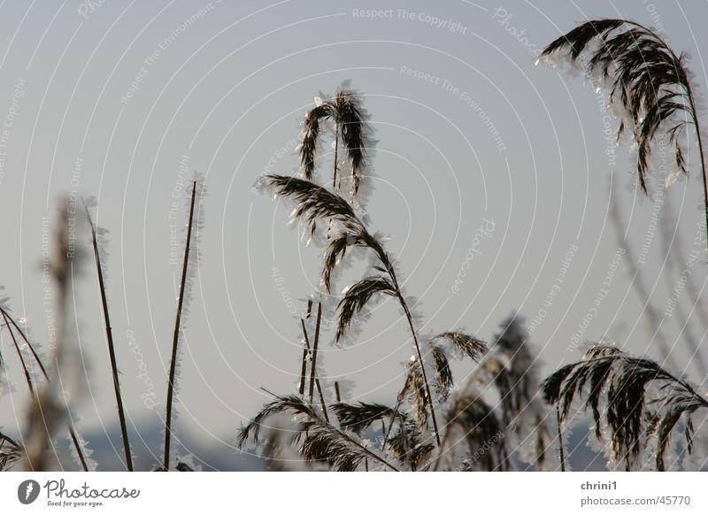 Eisiger Hafer Sonne Winter Eisblumen