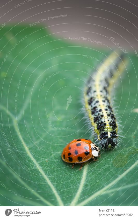Grundstückverteidigung Umwelt Natur Tier Sommer Pflanze Blatt Garten Park Wiese Käfer 2 Beratung sprechen kämpfen Ekel klein lang grün rot Defensive Marienkäfer