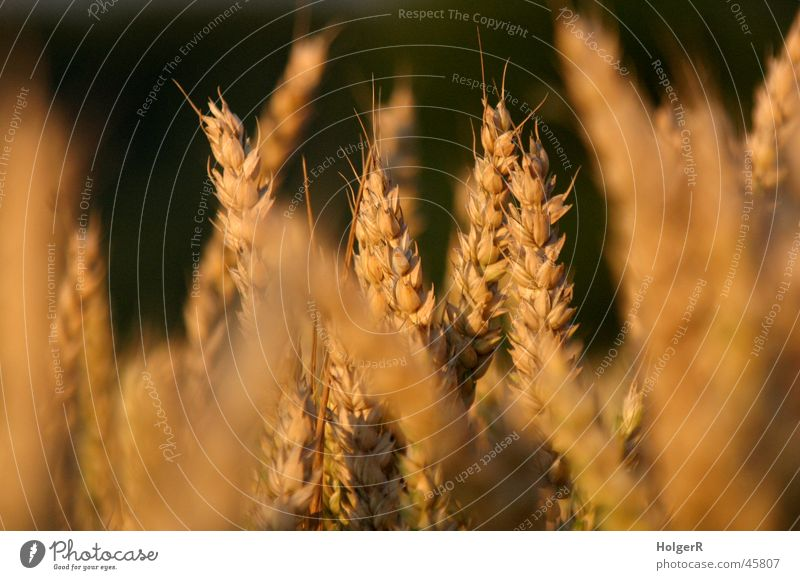 Kornfeld Landwirtschaft Weizen Sommer Getreide Abend