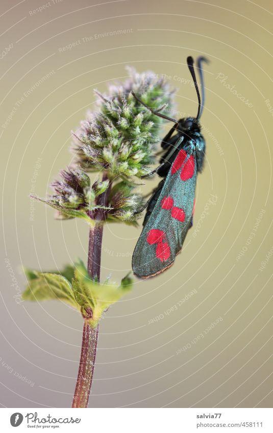 Ruhepause Umwelt Natur Pflanze Tier Sommer Blüte Wildpflanze Garten Feld Wildtier Schmetterling 1 mehrfarbig rosa rot schwarz Widderchen ruhend sitzen Insekt