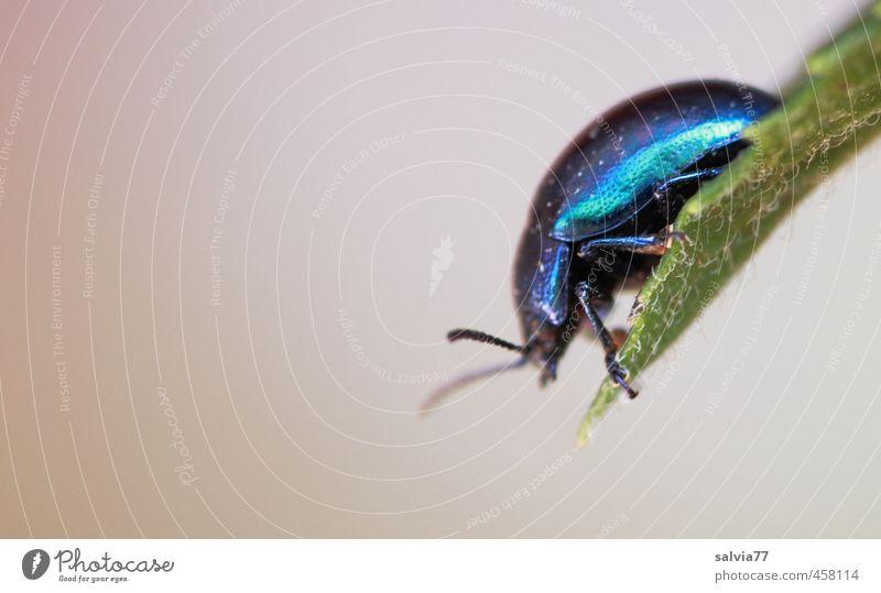 schillernder Käfer 2 Umwelt Natur Pflanze Sommer Blatt Wildpflanze Garten Tier Wildtier 1 krabbeln blau grün türkis Klettern Insekt Panzer glänzend Blattkäfer
