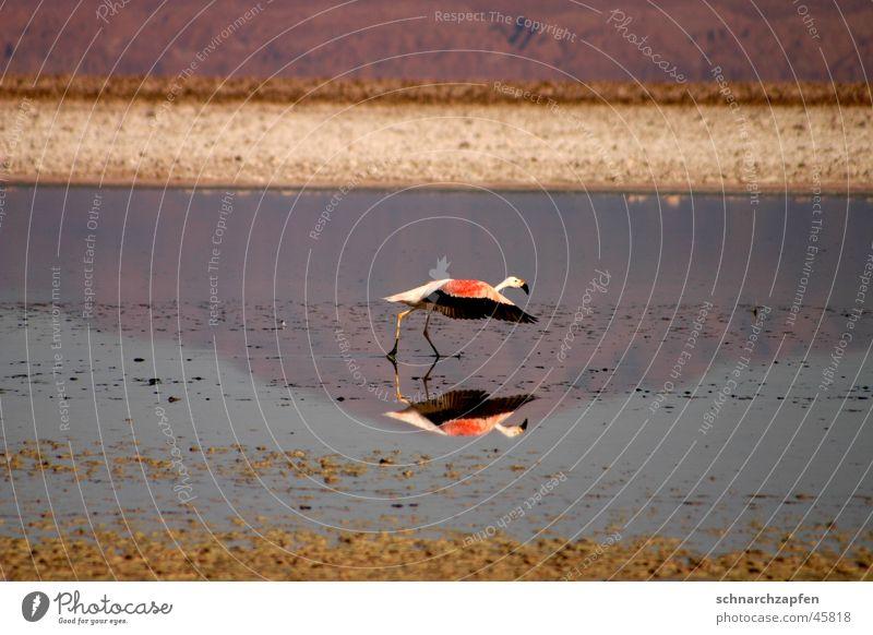 Flamingo Vogel Chile Salar de Atacama Reflexion & Spiegelung Wasser Bewegung