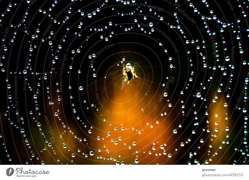 Feinstrick Natur Sonne Tier schwarz gold warten Tau Spinne Spinnennetz