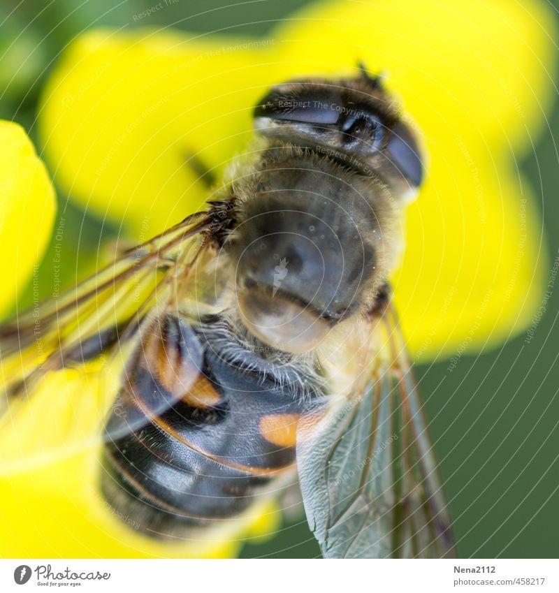 Gelbsucht Umwelt Natur Luft Sommer Schönes Wetter Blume Blüte Garten Park Wiese Feld Fliege Biene 1 Tier stehen gelb Flügel Auge Insekt nektar sammeln klein