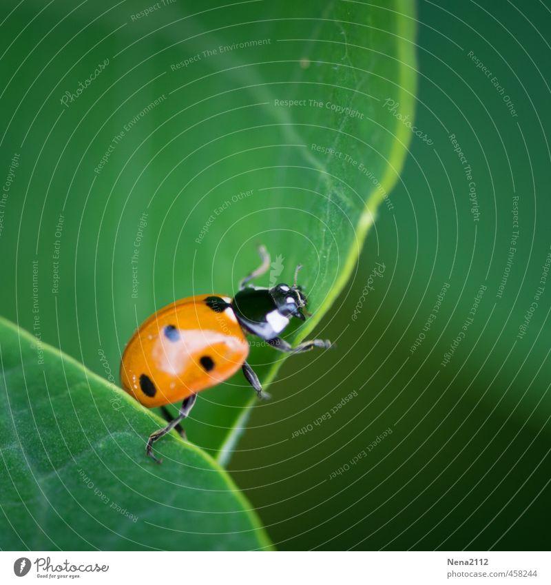 Krabbelkünstler Umwelt Natur Luft Schönes Wetter Pflanze Blatt Grünpflanze Wildpflanze Topfpflanze Garten Park Wald Tier Käfer 1 krabbeln grün rot Marienkäfer