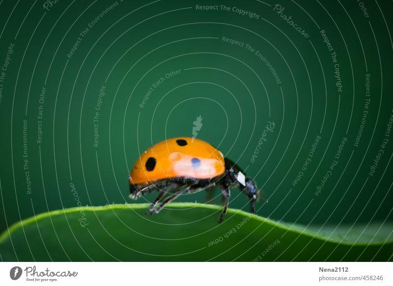 Blattsurfer Umwelt Natur Tier Sommer Pflanze Garten Park Wald Käfer 1 kämpfen krabbeln klein niedlich orange Marienkäfer Glücksbringer Punktmuster Linie folgend