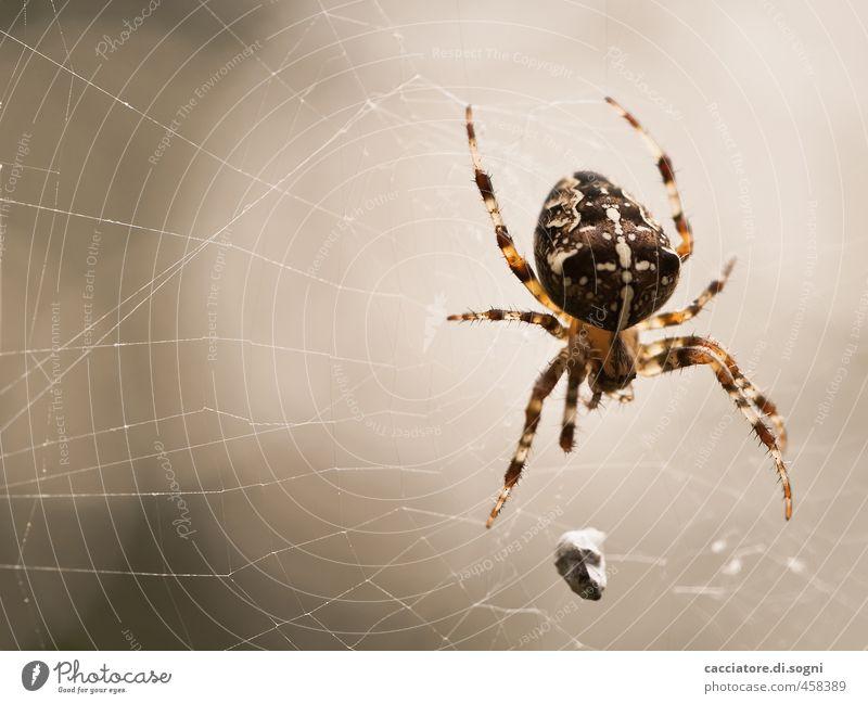 Achtbeiner Umwelt Tier Sommer Schönes Wetter Wildtier Spinne 1 Spinnennetz Kreuz Linie Aggression bedrohlich exotisch gruselig natürlich braun grau orange