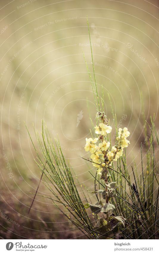 Wiesenblume Umwelt Natur Pflanze Frühling Sommer Blume Gras Blühend schön klein gelb grün Frühlingsgefühle Farbfoto Außenaufnahme Menschenleer Textfreiraum oben