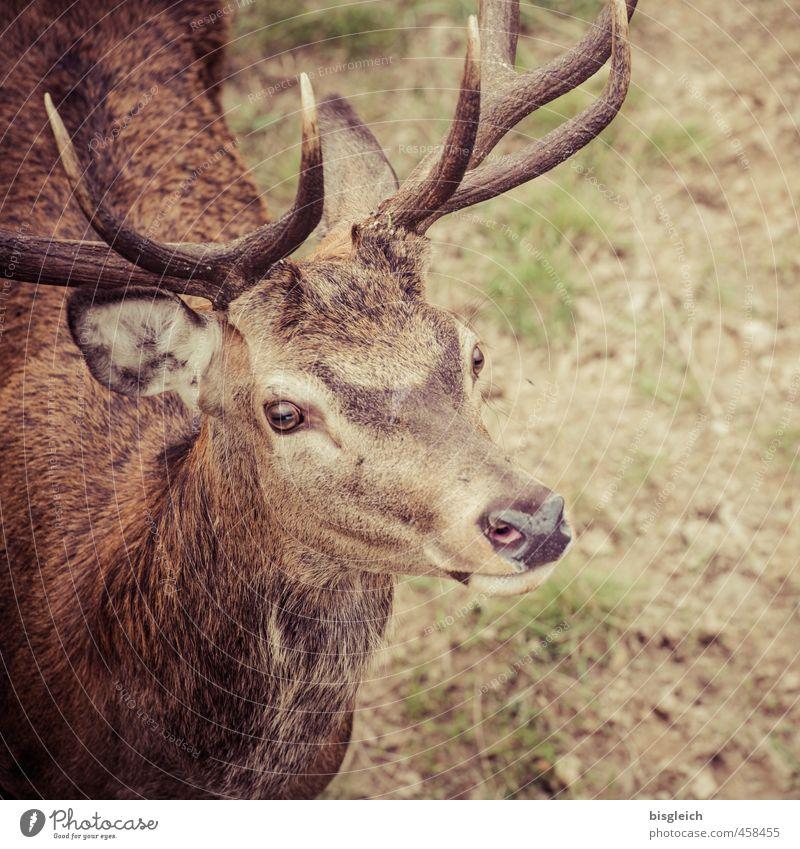 kleiner Hirsch Fleisch Wildfleisch Wildtier Tiergesicht Hirsche Horn Auge Ohr 1 Blick stehen braun grün achtsam Neugier Farbfoto Außenaufnahme Menschenleer Tag